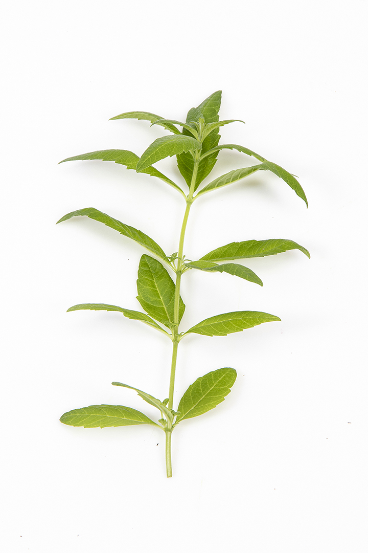 Citronverbena stilk