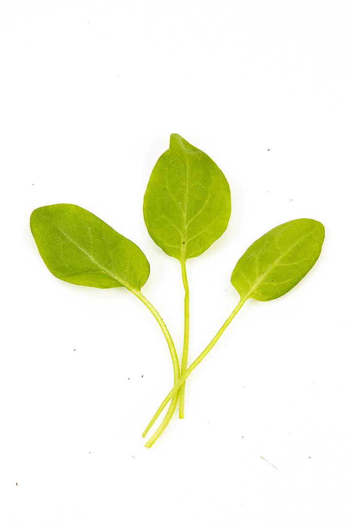 Grøn havesyre stilk