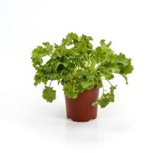 Grønkål i potte