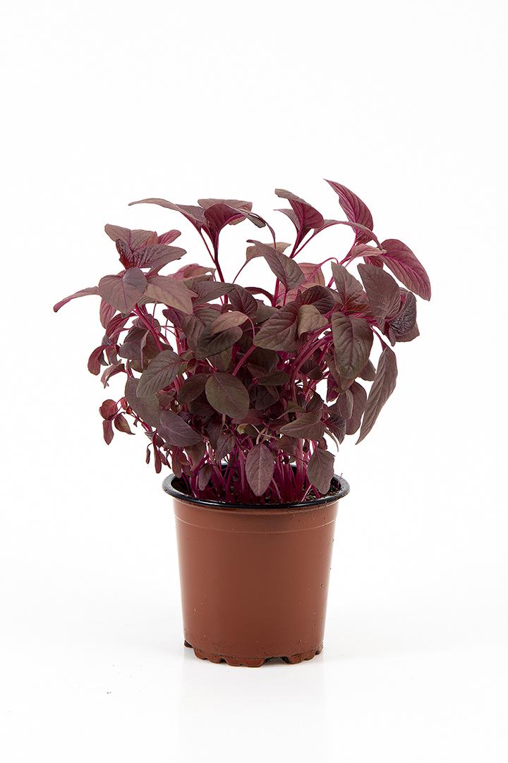 Rød amarant i potte
