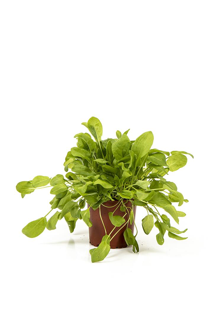 Grøn havesyre i potte
