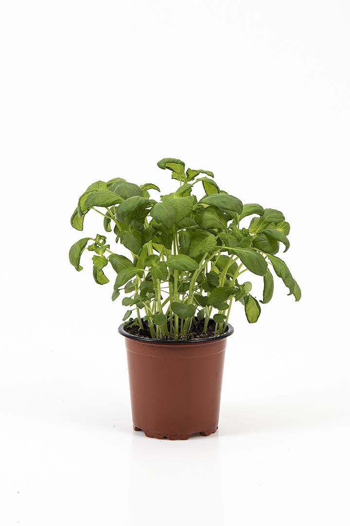 Grøn perilla i potte